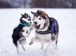 Malamutes have such diseases as hip dysplasia, anus adenocarcinoma, diabetes, hemophilia. They a ...