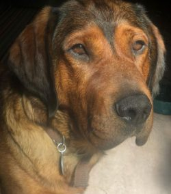 A dog of the Alpine Dachshund Hound breed is an ideal option for those who are fond of hunting a ...