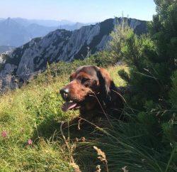 The Alpine dog was specially bred for hunting wild animals. Thanks to their endurance and dexter ...