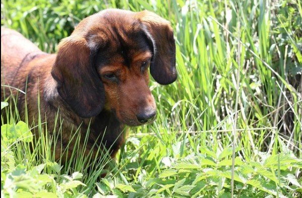 The Alpine Dachsbracke breed has a strong immune system that fights well against emerging diseas ...