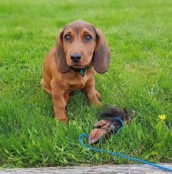 Alpine Dachsbracke dogs are especially picky about food. Like all other species, they need an op ...