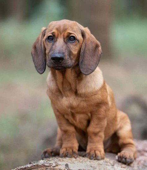 Alpine Dachsbracke dogs are especially picky about food. Like all other species, they need the o ...