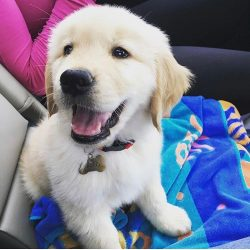 Among the fans of the golden retriever are the first persons of the state. For example, Romanian ...