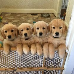 Golden Retrievers have perfect temperaments. Any skeptic will be forced to agree with this state ...