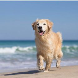 The Golden Retriever Giuseppe has shown his talents even in the trade! Giuseppe works in his own ...