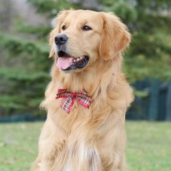 A big fan of Golden Retrievers is the 38th President of the United States, Gerald Ford. He was s ...