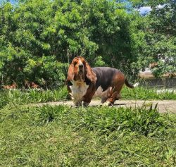 Lucky hounds, loyal companions, caring nannies – amazing Basset Hounds have many virtues,  ...