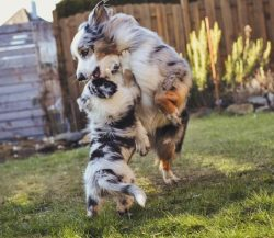 Training plays an important role in the upbringing of the Australian Shepherd. It is required to ...