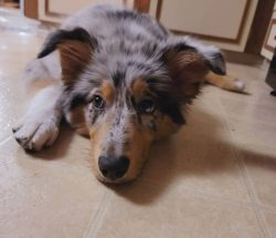 The Australian Shepherd is a beautiful medium-sized dog with a very strong sense of duty, a need ...