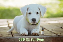 CBD Oil Dosage for Dogs: Optimum Amount and Frequency – BuzzSharer.com