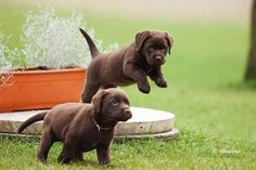 The most important component of good care is a complete diet. Labradors tend to be overweight, s ...