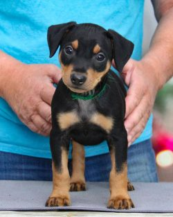 Although the German Pinscher won worldwide popularity precisely as an excellent service dog with ...