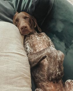 The neck of the shorthaired pointer is rather long in order to blend in with the external appear ...