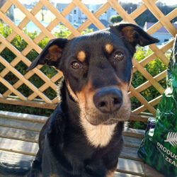 New Zealand Shepherd Dogs are discerning, the dog quickly ties to the owner and follows all his  ...