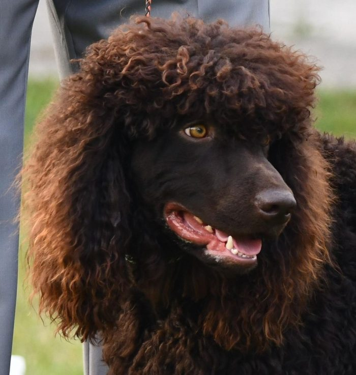 Good-natured, non-aggressive, sociable – it's all about him, the Irish Water Spaniel.