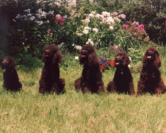 The Irish Water Spaniel needs socialization since childhood. Without her, he will most likely be ...