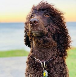 The Irish Water Spaniel is a dog breed that is easy to care for and does not require much hassle.