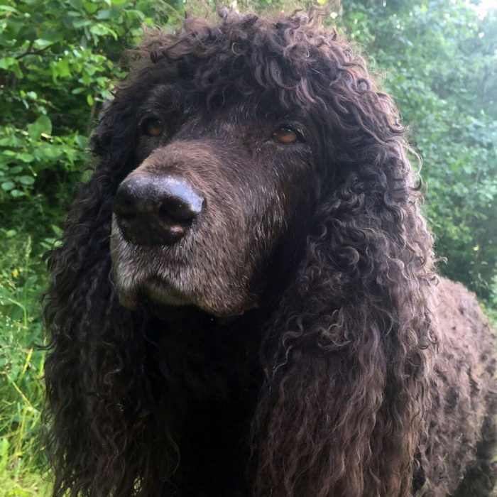 Since the Irish Water Spaniel has drooping ears, they should be monitored especially carefully,  ...