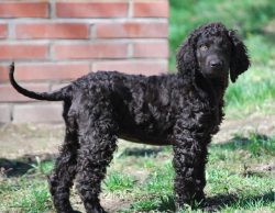 The Irish Water Spaniel is a medium sized, sturdy dog.