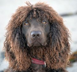 This is a fairly athletic breed that needs daily stress.