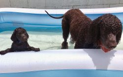 Most dog historians and breeders agree that the Irish Water Spaniel is a mixture of many other s ...