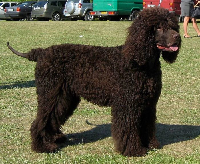 It is possible that the Irish Water Spaniel does indeed derive from the Dobhar Chu, however, the ...