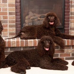 The Irish Water Spaniel was developed by Justin McCarthy in the first half of the 19th century,  ...
