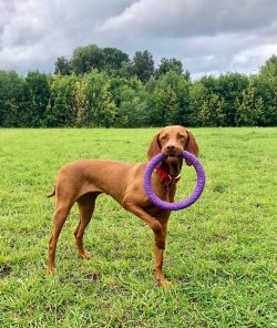 Pointing dog perfectly hunts birds. Having caught her scent, she sneaks up on her prey and takes ...