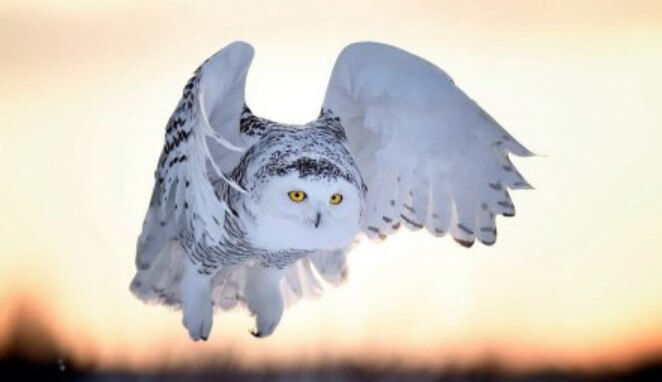 Snowy owls nest on the ground throughout the tundra zone, on many islands of the Arctic and Comm ...