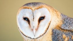 The barn owl is easy to distinguish from other owls. It does not have feathers that resemble ear ...