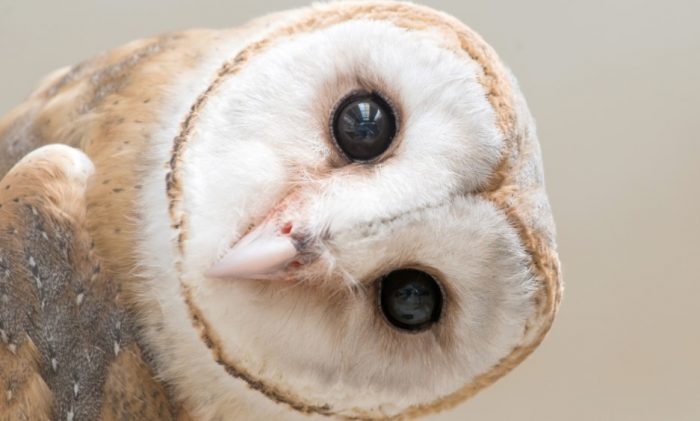 The common barn owl (Latin Tyto alba) is a bird of prey of the barn owl family. The most common  ...