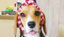 The Beagle is a hound breed that has long been used to hunt hares. The dogs drove the animals an ...