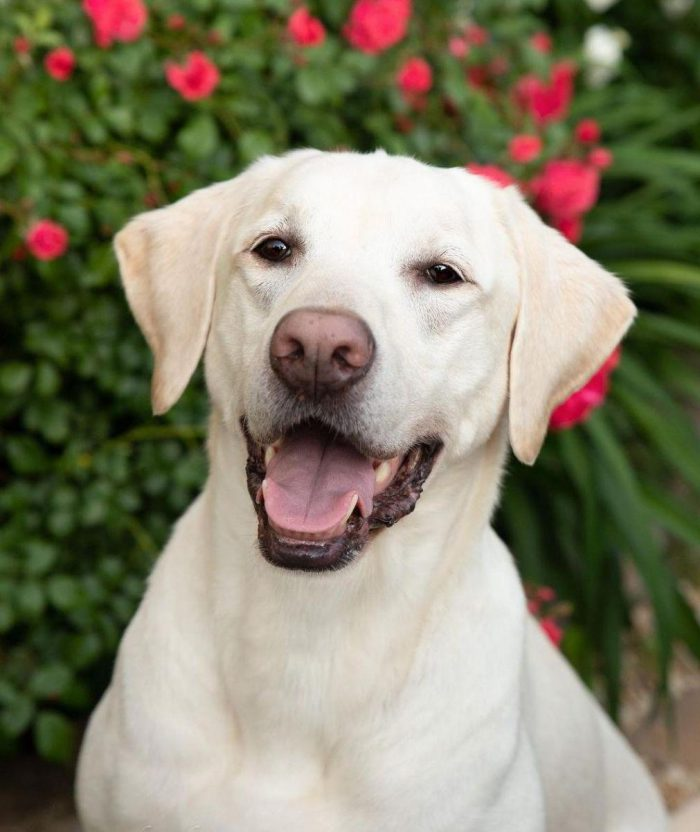 Representatives of the Labrador breed are excellent companionable dogs that can accompany owners ...