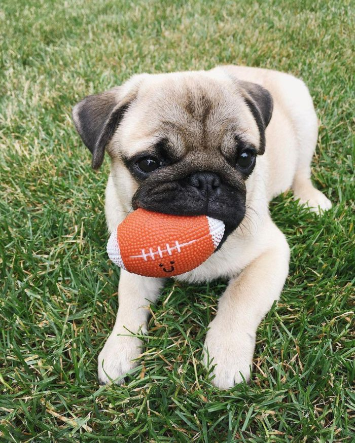 However, representatives of this breed do not know how to limit themselves in nutrition, therefore they often suffer from excess weight. Proper balanced nutrition is a guarantee of your pet's well-being and long life. In this article, we will tell you how to feed your pug properly, what foods are prohibited, and how to choose natural or dry food for pugs.