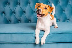 How To Groom Your Jack Russell [Everything You Need]