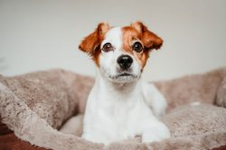 The 6 Best Dog Beds For Jack Russells [For A Good Sleep]